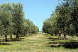 Παρέμβαση Γαληνού στη κυβέρνηση για αποζημίωση ελαιοπαραγωγών