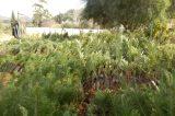 Μοιράζει δένδρα σε κατοίκους και φορείς ο δήμος Καλαμάτας