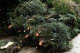 Ανακύκλωση φυσικών χριστουγεννιάτικων δένδρων στο  δήμο Νεάπολης-Συκεών