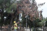 Ξεράθηκαν και θα κοπούν δεκάδες δένδρα στο Άλσος Συκεών